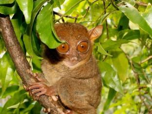 Charts Resort & Art Cafe Bohol - Surroundings - Philippine Tarsier